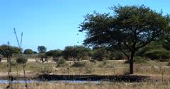 Gemsbok,Oryx gazella walk away, as a flock of Quelea Birds dip into the water for a drink.