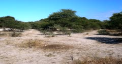 A wide shot of a Cape ground squirrel, Xerus inauris chasing another Squirrel out of its area.
