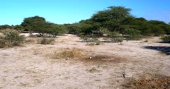 A wide shot of a family of Cape ground squirrels, Xerus inauris eating buck droppings from the dry ground.