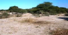 A wide shot of a family of Cape ground squirrels, Xerus inauris eating buck droppings from the dry ground, the dominant male returns to the family after chasing an intruder out.