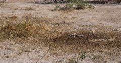 A Medium wide shot of a family of Cape ground squirrels, Xerus inauris eating buck droppings from the dry ground.