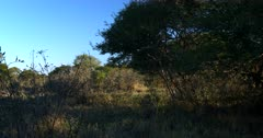 Walking through the Central Kalahari after a good rainy season and the vegetation has grown.