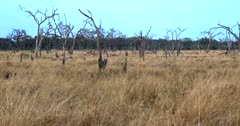 Wide pan across the long grass and trees that have died in Botswana,possibly from Elephants stripping the bark off the trees.