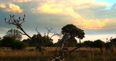 A flock of Marabou stork,Leptoptilos crumenifer perched on a dead tree at sunset.