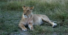 A Close up shot of a female Lioness, Panthera leo lying on a grass patch flicking the flies away