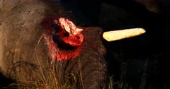 Extreme Close up shot of face of a Carcass of a dead Elephant,Loxodonta africana lying on the grass with the Bloody eye area that has been eaten  and flies are swarming