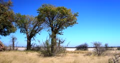 A pan shot across the Baobab,Adansonia sp Trees in full leaf, at Baines Baobabs, Nxai Pan.