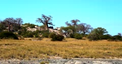A pan shot across the Baobab,Adansonia sp Trees  at Lekubu Island, Botswana