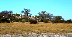 A wide pan shot across the Baobab,Adansonia sp Trees  at Lekubu Island, Botswana to the barren Makgadikgadi pan.