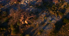 Aerial tilt shot at sunset over a majestic Baobab,Adansonia sp tree at Lekubu