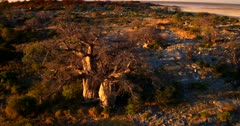Aerial short at sunset of the golden Baobab Trees raising up to revealing a section of Lekubu Island