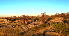 Aerial pan shot at sunset across the golden Baobab Trees of Lekubu Island