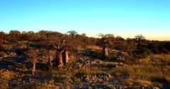 Aerial pan shot at sunset across the golden Baobab Trees of Lekubu Island growing out of the boulders.