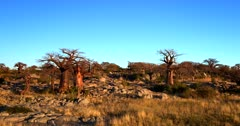 Aerial shot starting fro a low shot of the Baobabs growing out of the rocks to raising above and revealing Lekubu Island