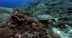 A tracking, close Up, slow motion shot of a Hawksbill Turtle, Eretmochelys imbricata eating while  four Moorish idol fish,Zanclus cornutus hang about picking up the scraps.