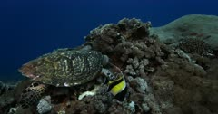 A Close Up, slow motion shot of a Hawksbill Turtle, Eretmochelys imbricata eating while  four Moorish idol fish,Zanclus cornutus hang about picking up the scraps.