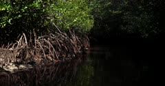 Close Up shot of the Mangrove tree roots standing proud of the water in the Mangrove forest.