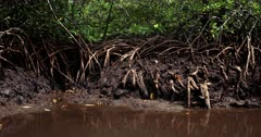 Close Up shot of Mangrove tree roots growing in the mud.