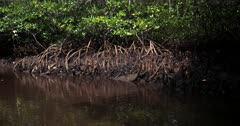 Tracking shot from some dead roots to healthy living roots of the Mangrove Trees.