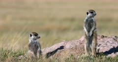 Two adult Meerkat or Suricate, Suricata suricatta stand guarding their den.