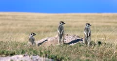 A Wide shot of Three very nervous and scared Meerkat or Suricate, Suricata suricatta keeping watch at their den.