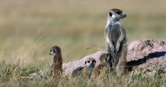 A Close up shot of  the torso and faces of three Juvenile  Meerkat or Suricate, Suricata suricatta stay close to mom, while out of the den. The one babe suckles on moms teats.
