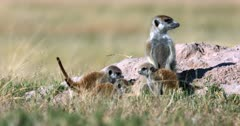 A Juvenile Meerkat or Suricate, Suricata suricatta with a sore on its one shoulder stays close to mom when its two other siblings rush over, tails in the air to come say hi.