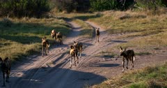 Close Up tracking shot of a large pack of African wild dogs, African hunting dogs, or African painted dogs, Lycaon pictus trotting along the dirt road right in front of the camera