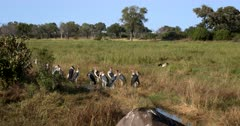 Pan shot from the Maribu storks, Leptoptilos crumenifer  to the body of a Carcass of a dead Elephant,Loxodonta africana. The storks wait for the opportunity to eat off the carcass