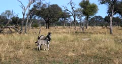 A baby, juvenile Burchell's Zebra, Equus burchelli nuzzles up to its mom after it's fed.