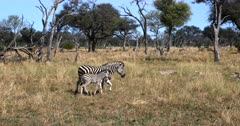 A baby, juvenile Burchell's Zebra, Equus burchelli walks out of frame, next to its mom.