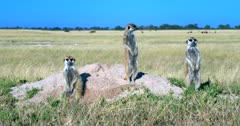 Three Meerkat or Suricate, Suricata suricatta standing guard at their Den, then one disappears into the den