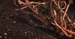 A medium close up of an Ocellated Tozeuma Shrimp, Tozeuma lanceolatum swallowing something