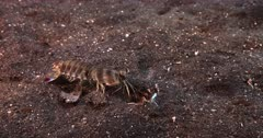 A Close Up of a Pink-eared Mantis shrimp, Odontodactylus latirostris picks up sand on the sea bed and throws it into its burrow. The shrimp dives into the hole but comes out not happy.