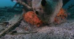 Wide shot of Five Many-banded pipefish, Doryrhamphus pessuliferus  hiding close to s sponge.