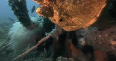 A Slow Motion shot of the face of a Large Orange Giant Frogfish,Antennarius commerson, commersonii yawing,mouthing