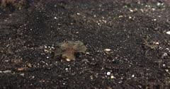 Melibe viridis is a species of sea slug, a nudibranch, a marine gastropod mollusk in the family Tethydidae.