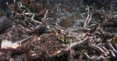 Two Mandarinfish or Mandarin dragonet,  Synchiropus splendidus swim around the broken coral
