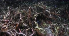 A Mandarinfish or Mandarin dragonet,  Synchiropus splendidus swim around the broken coral