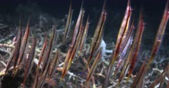 A large school of colorful Razorfish,Aeoliscus strigatus swim with their heads down right up to the camera.