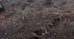 A Close Up of a Pink-eared Mantis shrimp, Odontodactylus latirostris going head first into its Burrow but then coming straight back up.