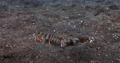 A Pink-eared Mantis shrimp, Odontodactylus latirostris moving on the sea bed