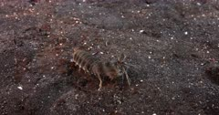 A Pink-eared Mantis shrimp, Odontodactylus latirostris moving on the sea bed and finding its Burrow.