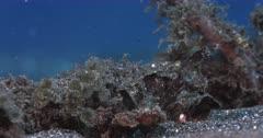 A Macro shot of a Robust Ghostpipefish, Solenostomus cyanopterus eating
