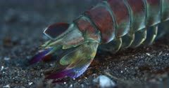A Close Up pan shot from the colorful tail to its face of a Pink-eared Mantis shrimp, Odontodactylus latirostris with its legs digging in the sea bed