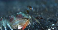 A Close Up Tracking Side shot of the face and upper shoulders of a Pink-eared Mantis shrimp, Odontodactylus latirostris while it walks along the sea bed