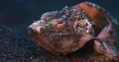 A Rack Focus shot, from behind to the front, of a grumpy orange and white  Humpback Scorpionfish, Scorpaenopsis diabolus