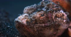 A Macro shot, of the face of a grumpy orange and white  Humpback Scorpionfish, Scorpaenopsis diabolus breathing gently through its mouth.