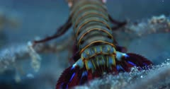 A Close up Pan shot from the tail to the back of the head of a colorful Peacock Mantis shrimp, Odontodactylus scyllarus