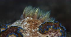 A Macro Pan Shot from the Antenna swiveling on the body of  a brown Nudibranch dusted with white dust and fringed with a yellow and blue stripe, Glossodoris cincta to its gills.